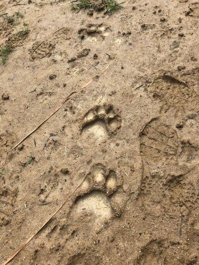 老虎的軌跡