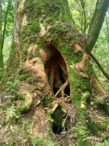 樹洞神木外觀