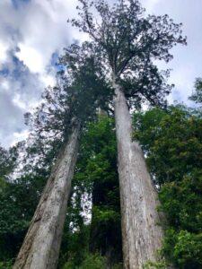 台灣衫樹冠