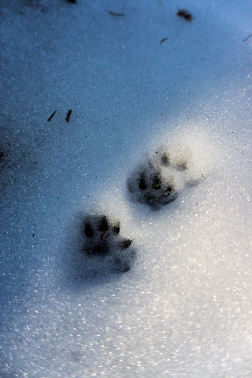 黃鼠狼腳印