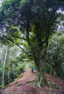 大小劍天梯路上樹