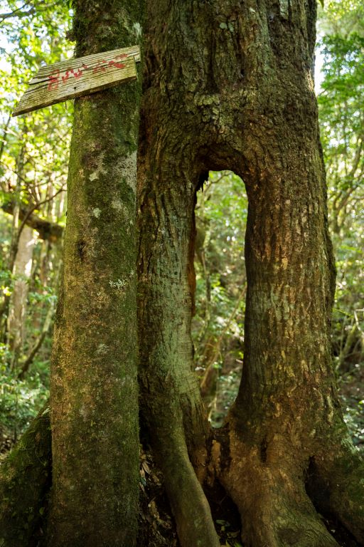 塔魔巴-洞洞樹