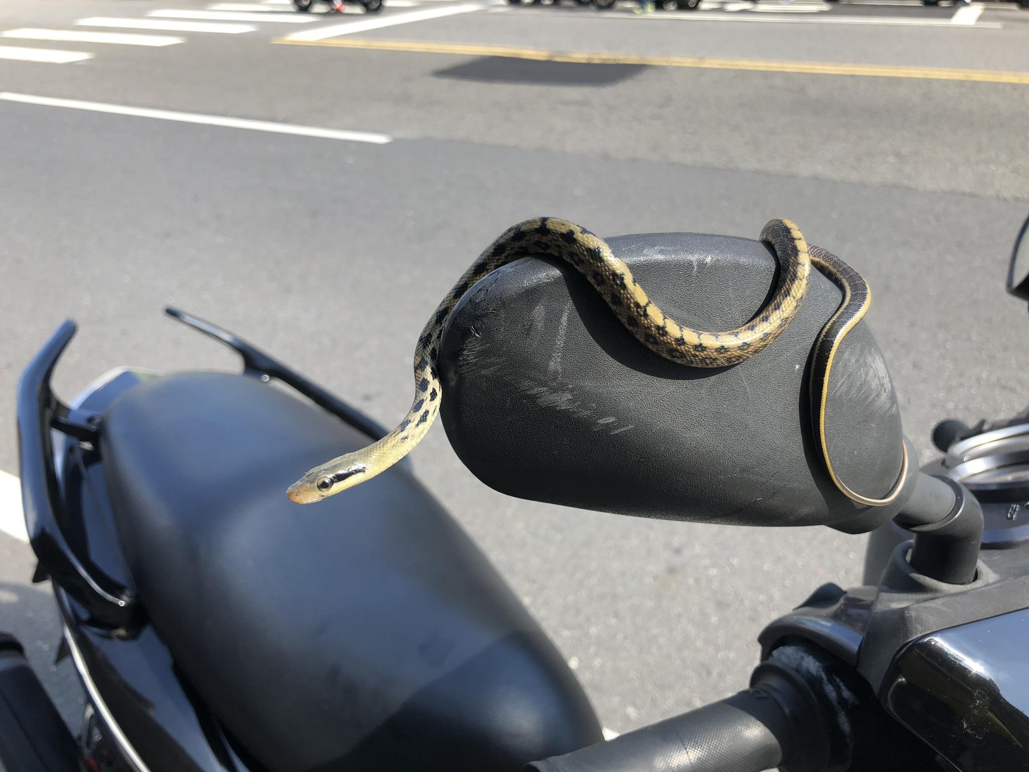 黑眉錦蛇(幼蛇